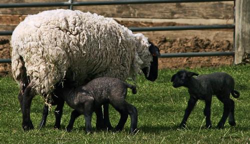 usa spring babies lambs wa wallawalla cottonwoodrd