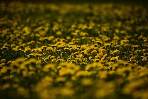 flower wet weather yellow dof bright depthoffield rainy april shallow showers vignette dandelions project365 photoshopcs3 project366 canoneos40d canon100400mmlisusm