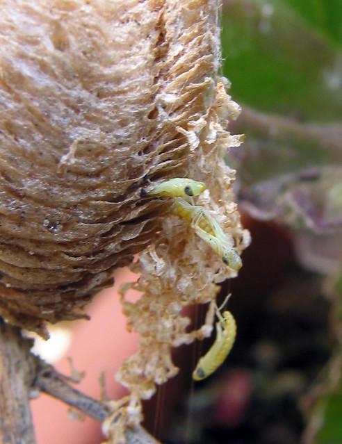 Birth of many Mantis.....(1/6)