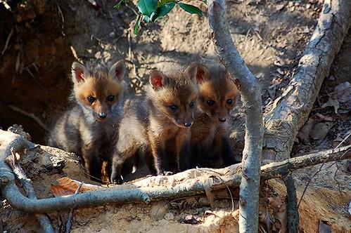 Fox Kits. Clifton, VA