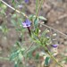 purple false gilia - Photo (c) randomtruth, some rights reserved (CC BY-NC-SA)