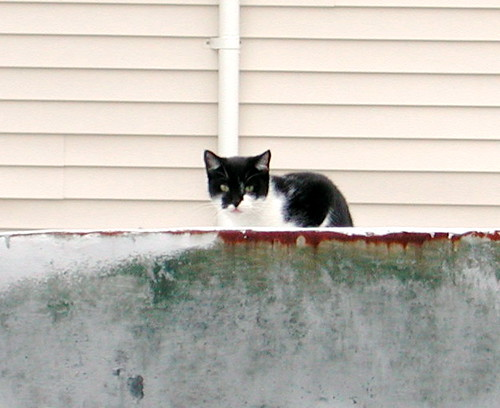 Stare Cat