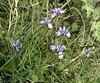 springflower2