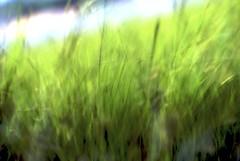 field, wheatgrass, green,