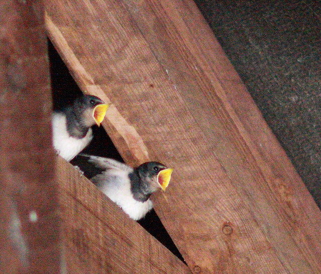 Late September & Late Swallow Chicks still needing feeding.