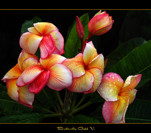 The Plumeria Butterfly Gold Virus