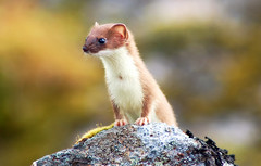 animal(1.0), weasel(1.0), mustelidae(1.0), mammal(1.0), macro photography(1.0), fauna(1.0), marten(1.0), close-up(1.0), polecat(1.0), whiskers(1.0), wildlife(1.0),