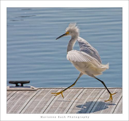 white bird interestingness bravo 11 explore egret strut snowyegret shorebird egrettathula naturesfinest 255 theintimidator specanimal impressedbeauty avianexcellence