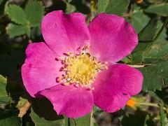 blossom(0.0), rosa 㗠centifolia(0.0), floribunda(0.0), rosa wichuraiana(1.0), annual plant(1.0), shrub(1.0), garden roses(1.0), flower(1.0), rosa gallica(1.0), plant(1.0), rosa rubiginosa(1.0), rosa canina(1.0), flora(1.0), rosa acicularis(1.0), rosa pimpinellifolia(1.0), rosa rugosa(1.0), petal(1.0),