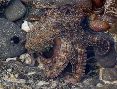 animal(1.0), octopus(1.0), organism(1.0), marine biology(1.0), invertebrate(1.0), marine invertebrates(1.0), fauna(1.0), wildlife(1.0),