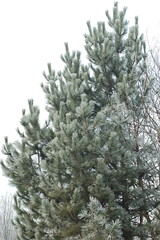 plant(0.0), christmas decoration(0.0), christmas tree(0.0), branch(1.0), pine(1.0), tree(1.0), temperate coniferous forest(1.0), fir(1.0), spruce(1.0), twig(1.0),