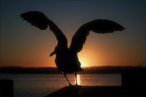 california sunset sea usa bird nature water mar sandiego sandiegobay lv2008