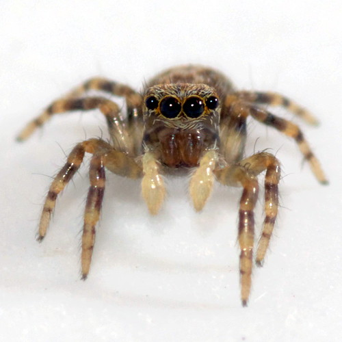 Comment lutter contre les araign es dans la maison for Araignee de maison