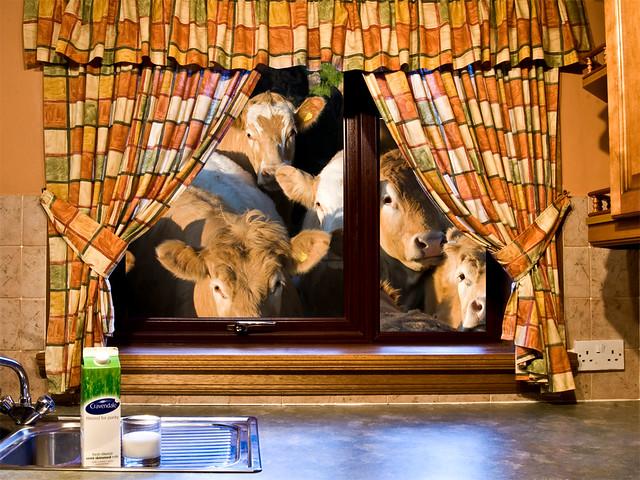 Kitchen curtain cow curtain design - Kitchen cow theme ...