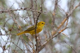 Golden Yellow Warbler