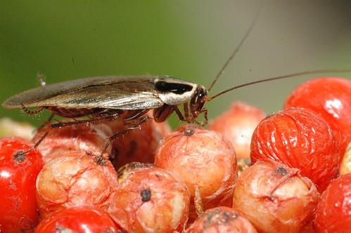 蜚蠊目 姬蜚蠊科 德國姬蠊 Blattella germanica  94昆蟲營 惠蓀林場