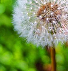 dandelion cropped4