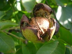 Nuez/Nut