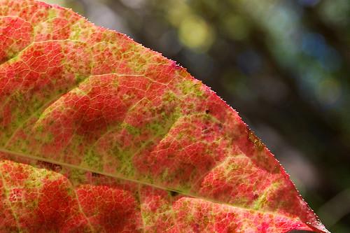 autumn red detail macro fall nature colors leaves yellow georgia season woods nikon shadows seasons bokeh highlights edge spotted veins autumnal serrated alpharetta d80 colourartaward