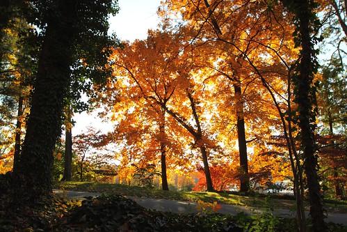autumn trees sun color leaves glow northcarolina winstonsalem reynoldagardens sigma20mmf18exdg ndx4