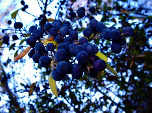 georgia berries purple winder 2008 sides bsides wetslug markhewatt