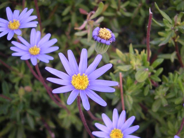 Margarita lila - daisy lilac