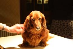 animal, dog, pet, mammal, irish setter, english cocker spaniel, spaniel, dachshund,
