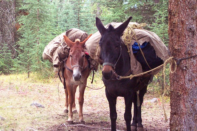 Pack Mules | Flickr - Photo Sharing!