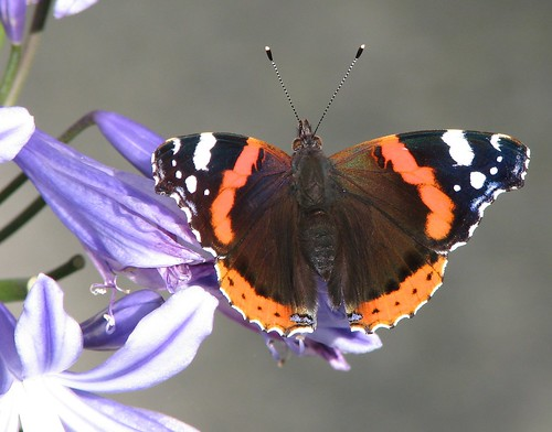 Red Admiral on Agapanthus