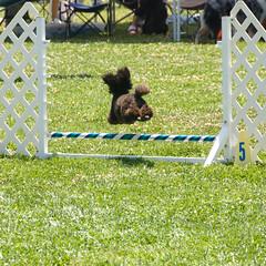 dog sports, animal sports, dog, fence, grass, pet, dog agility, lawn,