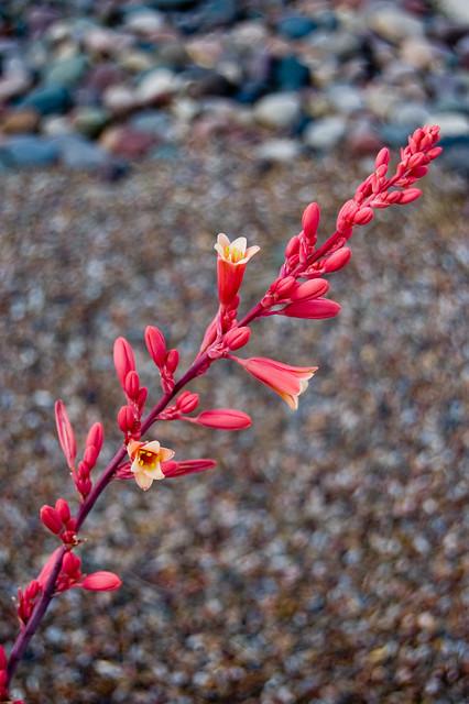 Flower Spike (yucca?)   Flickr - Photo Sharing!