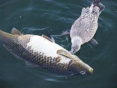 animal, carp, fish, marine biology,