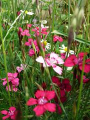 carnation(0.0), gladiolus(0.0), annual plant(1.0), flower(1.0), herb(1.0), wildflower(1.0), flora(1.0), dianthus(1.0),
