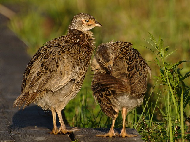 Young Pheasants | Flic...