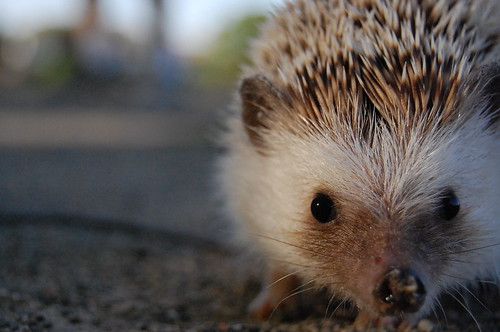hedgehog stare