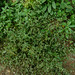 Small photo of Alternanthera sp.