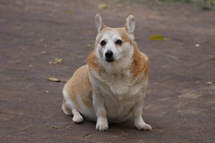 puppy(0.0), canaan dog(0.0), welsh corgi(0.0), dog breed(1.0), animal(1.0), dog(1.0), street dog(1.0), mammal(1.0), korean jindo dog(1.0),