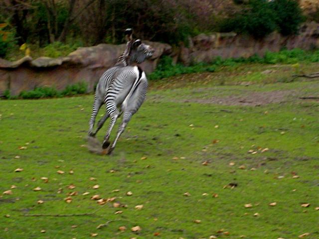 Running zebras | Flickr - Photo Sharing!