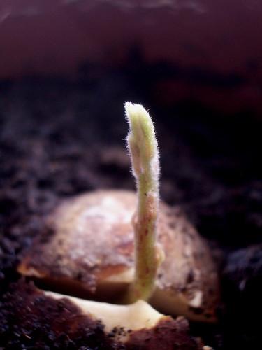 Shoot growth
