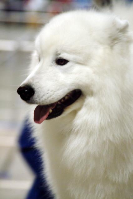 Purebred Seattle Dog Rescue