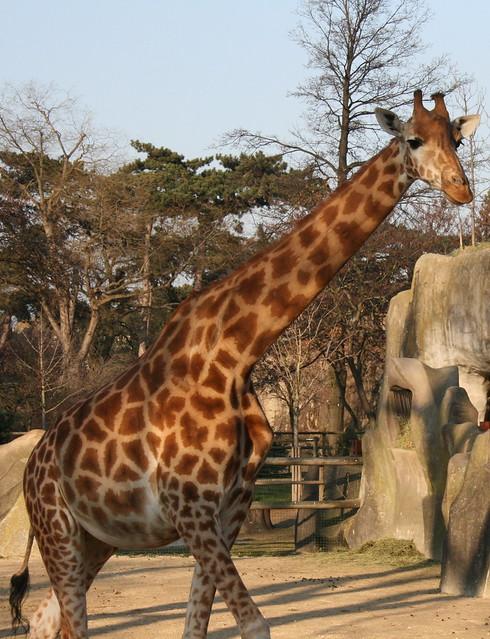 Giraf, Vincennes