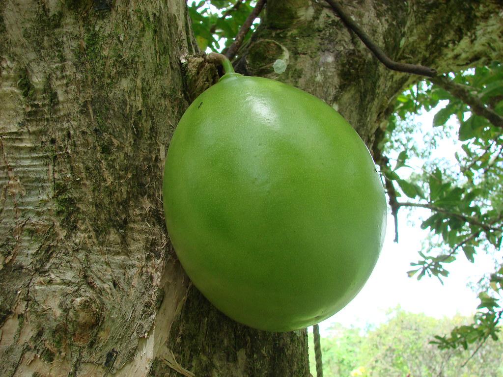 Tapara o Totuma [Calabash, Gourd] (Crescentia cujete)