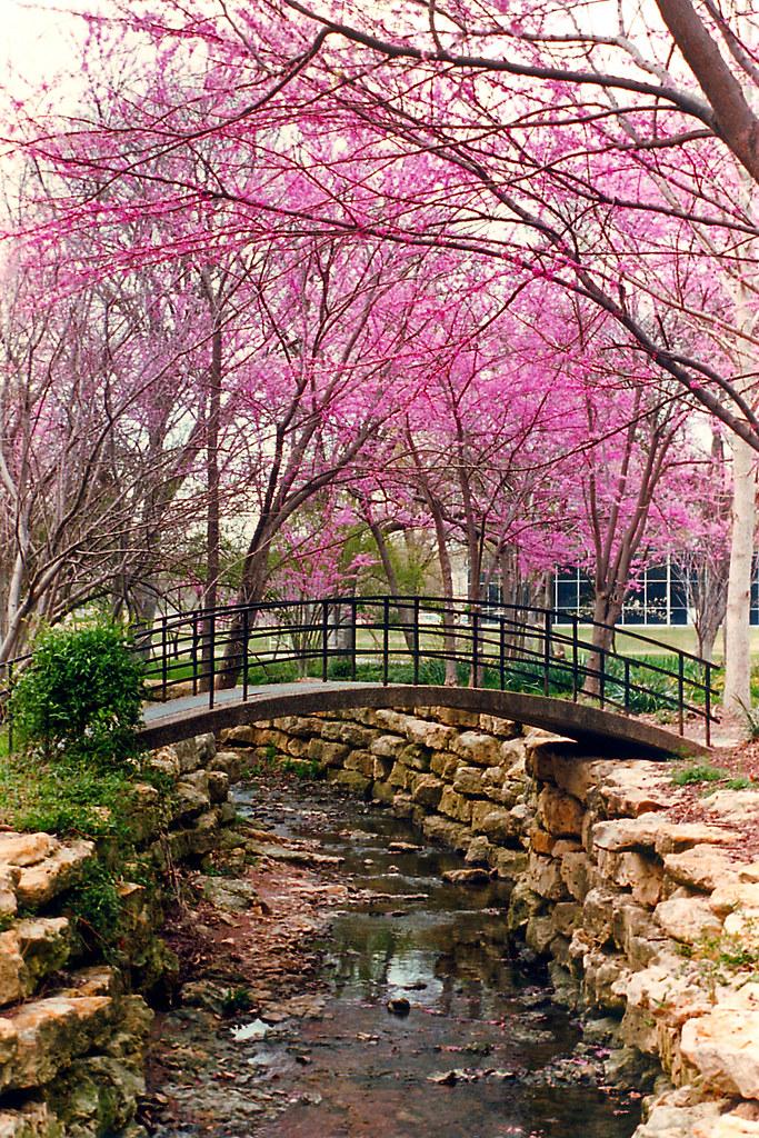 Bridge Redbuds Fort Worth Botanical Gardens A Photo On Flickriver