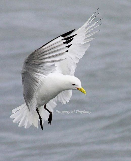 (#222) Black-Legged Kittiwake