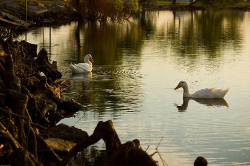 sunset lake water reflections ducks ripples cypressknees pekinduck file:name=dsc06850