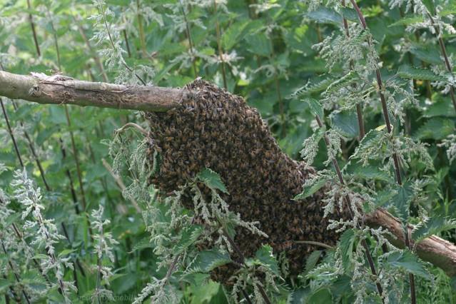wild honey bee nest img 9907 flickr photo sharing. Black Bedroom Furniture Sets. Home Design Ideas
