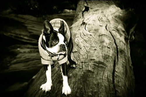 burr trail boston terrier