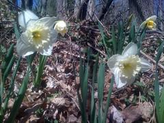 calochortus(0.0), flower(1.0), plant(1.0), wildflower(1.0), flora(1.0), narcissus(1.0),