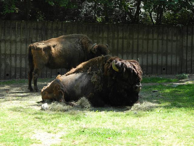bison sp bison zoo de mulhouse by computerhotline flickr photo sharing. Black Bedroom Furniture Sets. Home Design Ideas