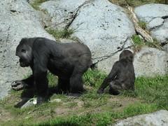 More gorillas